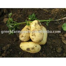 Голландский свежий картофель