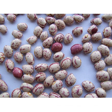 New Round Light Speckled Kidney Bean