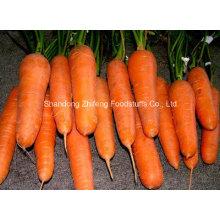 Новая морковь урожая с минимальной ценой