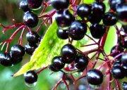 Elderberry extract(alice@seaweedbiochem.com)
