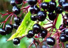 Elderberry extract(alice@seaweedbiochem.com)