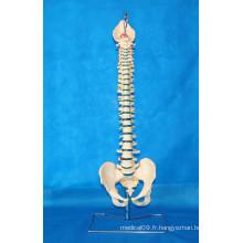 Modèle médical pour l'enseignement de la vertébrale de la colonne vertébrale humaine (R020711A)