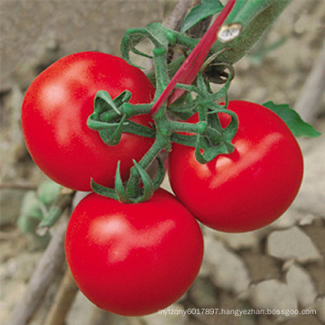 HT47 Canle early maturity,red f1 hybrid tomato seeds prices with high yield