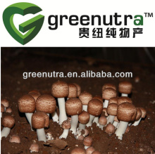 GMP manufacturer agaricus blazei murrill extract