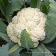 CF100 Genius 100 jours moyen maturité hybride graines de chou-fleur blanc
