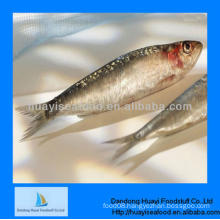 frozen delicious high quality sardine fish scientific name