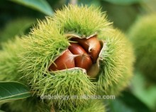 Horse Chestnut P.E., Aescin 20%, 50% 90% and 95% HPLC, Aesculus hippocastanum Extract, liquid extract from seeds of a chestnut