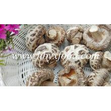 Seta de flores secas, vegetales secos, hongos shiitake de China