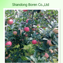 Fresh Gala Apple From Shandong China