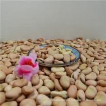 Fava Bean orgánico