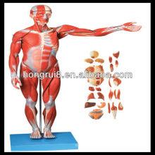 ISO Músculos del hombre con órgano interno, modelo de anatomía muscular
