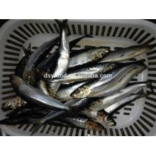north sardine for bait