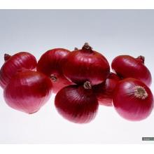 Nouvelle culture de haute qualité pour l'exportation de l'oignon rouge