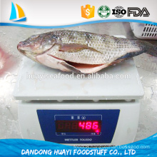 frozen new fresh tilapia fish
