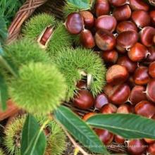 Hochwertige 2020 New Crop Chestnut