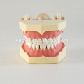 32 pcs Removable Teeth Soft Gum Teaching Dental Model 13008, Replacement Teeth Siut for Frasaco Jaw