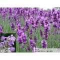 100% Natural Lavender Extract Powder 10: 1