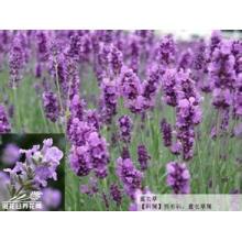 100% natürliches Lavendel-Auszug-Pulver 10: 1