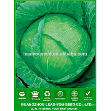 NC39 Biande Chinese green flat cabbage seeds, quality cabbage seeds