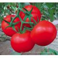 HT46 Jesou maturité mi-précoce, graines de tomate hybride f1 rouge à haut rendement