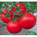 HT46 Jesou maturidade precoce precoce, sementes híbridas de tomate vermelho f1 com alto rendimento