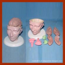 Modelo anatômico médico do cérebro humano 8 peças