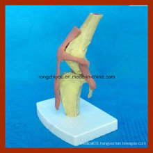 Anatomical Dog Health Knee Joint Model for Medical Teaching