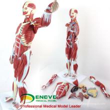 MUSCLE01 (12023) Numerado modelo anatómico humano anatómico de 78 cm de altura, 27 piezas, 1/2 tamaño natural 12023
