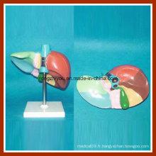 Le loose du foie humain et le modèle des segments du foie à colorier et à numéroter