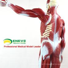 MUSCLE02 (12024) Pleine grandeur 170cm Muscles Humains Modèles Anatomiques avec Organes Amovibles 12024