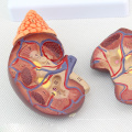 KIDNEY04 (12433) Life Size Health Kidney Anatomical Model in 2 Parts