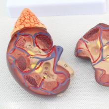 KIDNEY04 (12433) Lebensgroße Gesundheit Nieren Anatomisches Modell in 2 Teilen