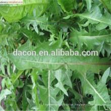 Taraxacum mongolicum Extracto en polvo