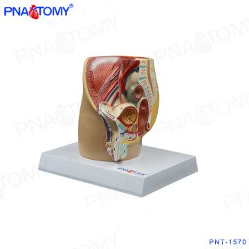Mini modèle de bassin mâle PNT-1570, modèle de cavité pelvienne de luxe