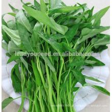 Sementes do espinafre da água de boa qualidade de JWS03 Gengmei para vendas