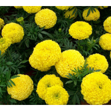 Good Quality for Potmarigold Calendula 2018 Latest French marigold seeds for cultivating export to Palau Manufacturers