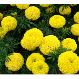 2018 Latest French marigold seeds for cultivating