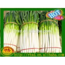 Китай новый свежий зеленый лук горячие продажи