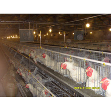 Automático un tipo de casa de pollo con jaulas y equipos