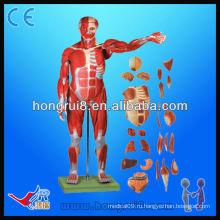 Модель размера анатомической мышцы человека размером 170 см