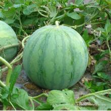 RW01 Gonsi grande global verde F1 sementes de melancia sem sementes híbridas para o plantio