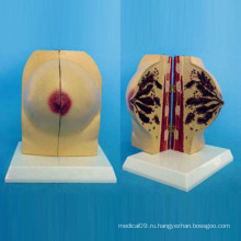 Нормальная женская анатомия груди для медицинского обучения (R150106)