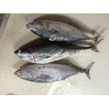 Big Size Frozen Bonito Fish