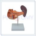 PNT-0470 Pancreas Duodenum et Spleen model