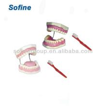 Zähne und Dentalmodelle, Dentalmodell, Zahnmedizinische Modell