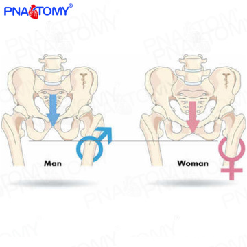 PNT-0111cy Medical science natural size male pelvis model