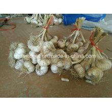 China Semillas de ajo con raíces