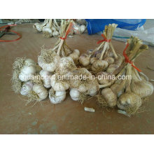China Garlic Seeds with Roots