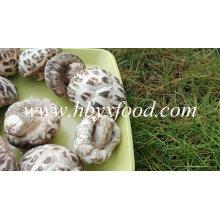 Marcas hongos, flor blanca Shiitake, vegetales saludables