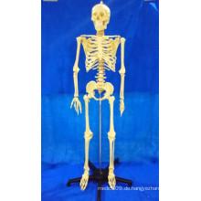 168 Cm menschliches Skelett-Knochen-Plastikmodell für medizinische Demonstration (R020103A)
